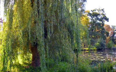 Be the Willow, Not the Oak